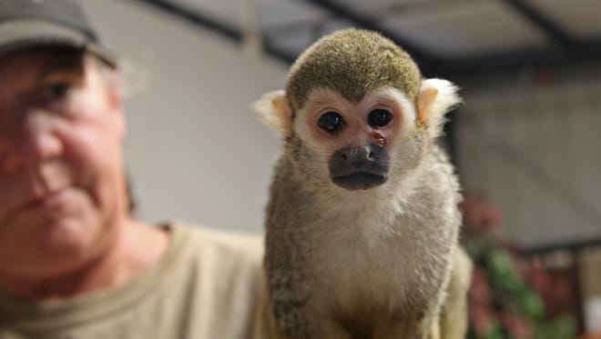 Kristi Ingram holds Pip, a squirrel monkey and a new resident of the Monterey Zoo. The injury to his left cheek was related to Pip being beaten up by members of his troop. He's now completely healed.