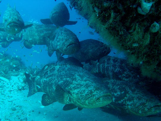 Will the goliath grouper be managed the same way the black for Goliath grouper fish
