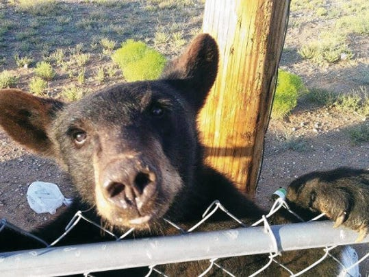 Israel Valdez Photo   This young bear was relocated to the Gila Wilderness after rummaging through trash in the Butterfield Trail neighborhood.