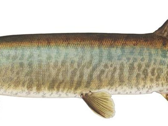 Fish wildlife to stock muskellunge for lake for Vermont state fish