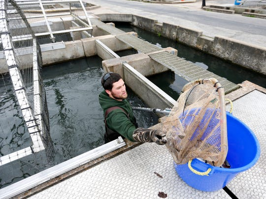 Ryan Little, a resources assistant with the Missouri Department of Conservation, uses a net to remove dead fish from a raceway at the Shepherd of the Hills Hatchery on Wednesday, Nov. 18, 2015. Foul-smelling water flowing out of Table Rock Lake dam has triggered a large kill of brown and rainbow trout at the hatchery.