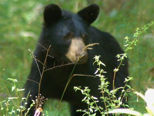 The black bear harvest is down in Pa., but the weights