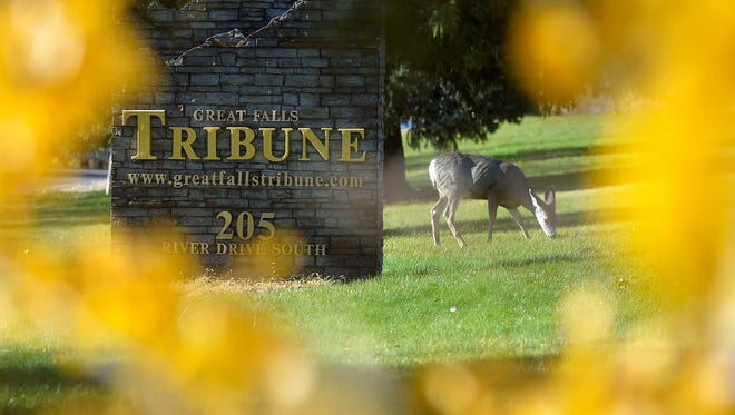 Deer feed on the front lawn of the Great Falls Tribune building, Thursday.