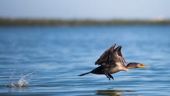 A double-crested cormorant takes flight along the first