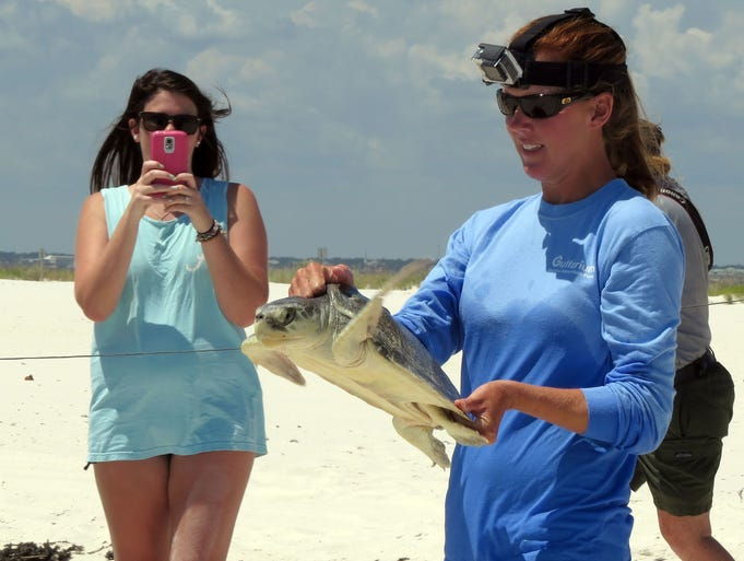 Rachel Cain, Sea Turtle Stranding Coordinator for the Gulfarium Marine Adventure Park, takes one of the two sea turtles released back into the wild down to the shoreline  of the Gulf of Mexico Wednesday at the Gulf Islands National Seashore near Ft. Pickens area.