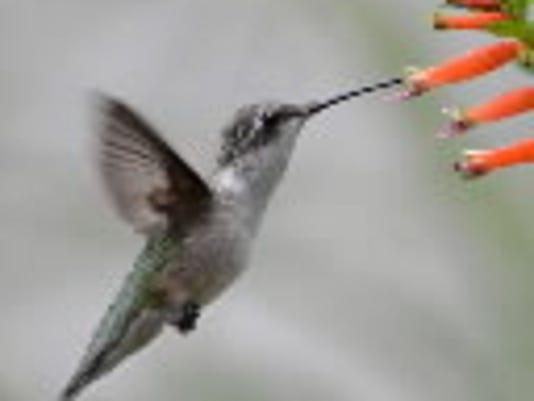 635816265355426258-barley-hummingbird