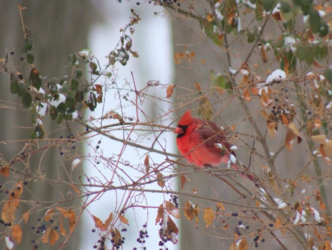 Cardinal after the snowfall