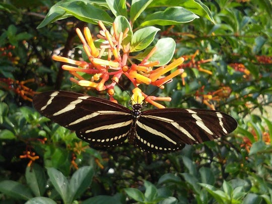 Amelia Grant /SUBMITTED TO YOURNEWS Dwarf Firebush (Hamelia patens) and Zebra Longwing Butterfly