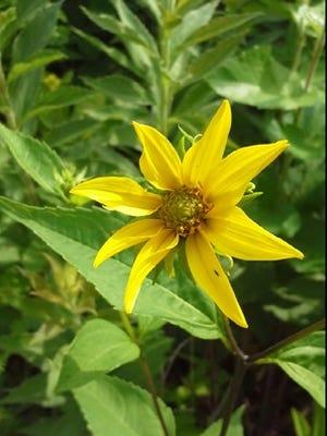 Helianthus strumosus or harsh sunflower taken on the former Peyser property in Monkton in July, 2016