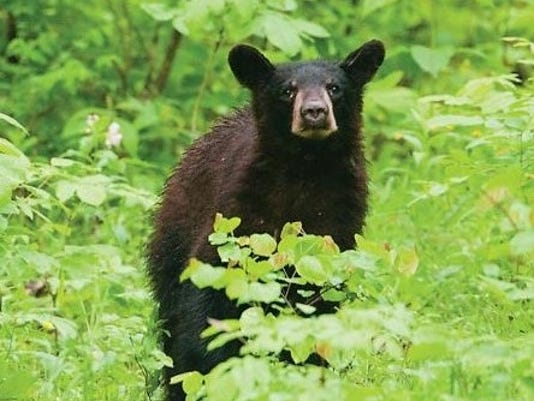 Black bear in Lincoln Forest