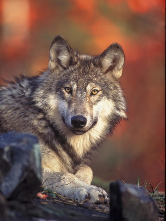 SAL wolf areas
