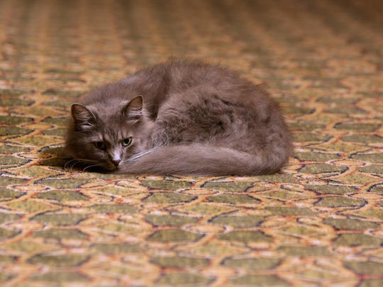 Casper is one of the two hotel cats at The Crescent Hotel.