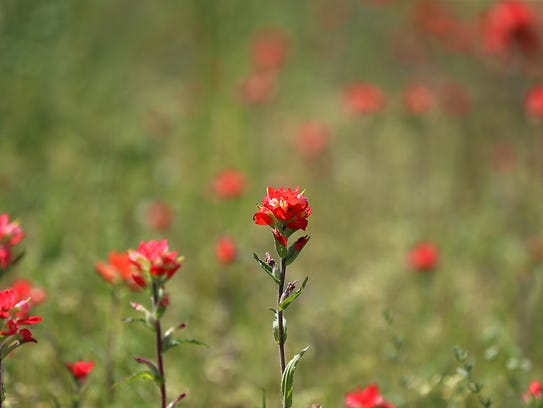 A small patch of Indian paintbrush bloom along Texas Highway 71 in Valley Spring on March 24.