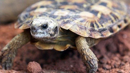 Afrtican Pancake Tortoise, which can wedge itself between rocks to protect itself from predators, walks in its display case in the Newport Aquarium's new Turtle Canyon exhibit.
