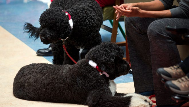 Obama family dogs Sunny, left, and Bo, right, at Children's National Health System in Washington, Dec. 16, 2013.
