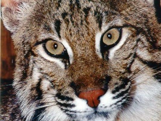 0510-JCNW-Big-Cats.jpg