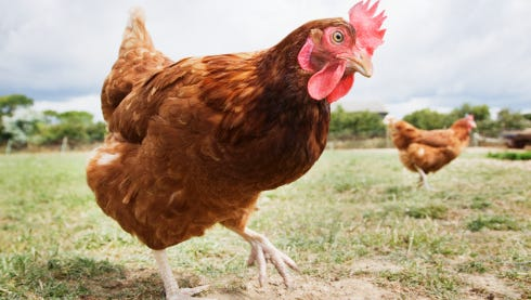 The ban follows confirmation of avian flu in Tennessee, plus possible cases in the north Alabama counties of Jackson, Lauderdale and Madison counties.