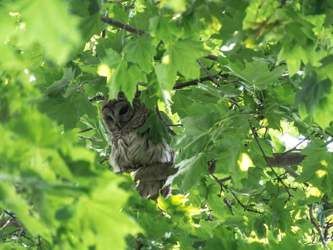 One of a pair of owls who hunt for small rodents in our neighborhood at twilight.  Here he's trying to take a nap but too many other agitated small birds were annoying him.  Not to mention the annoying human taking his picture ;-)