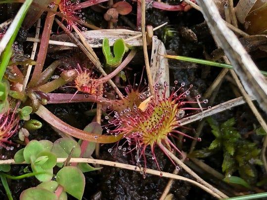 Sundew plant in a bog near Black Wolf Meadow.