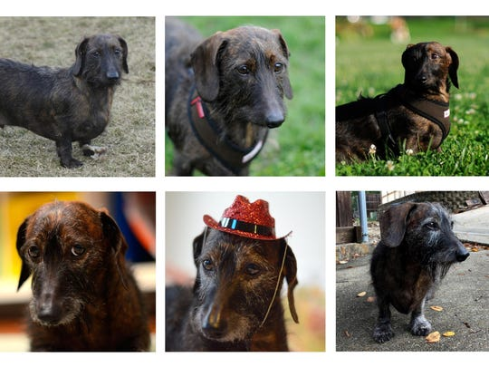 This composite of 10 photographs shows Oscar, a wire-haired dachshund from 8 weeks old, top left, to 10 years old, bottom right. Photos by year are from top left; 2007, 2008, 2009, 2010, 2011 and from bottom left; 2012, 2013, 2014, 2015 and 2016.
