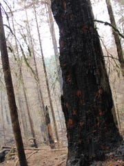 Burned trees at the Silver Creek Fire.