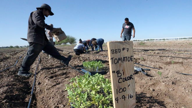 Volunteers plant tomatoes in the 14-acre La Semilla Food Center farm in Anthony, N.M. Saturday.