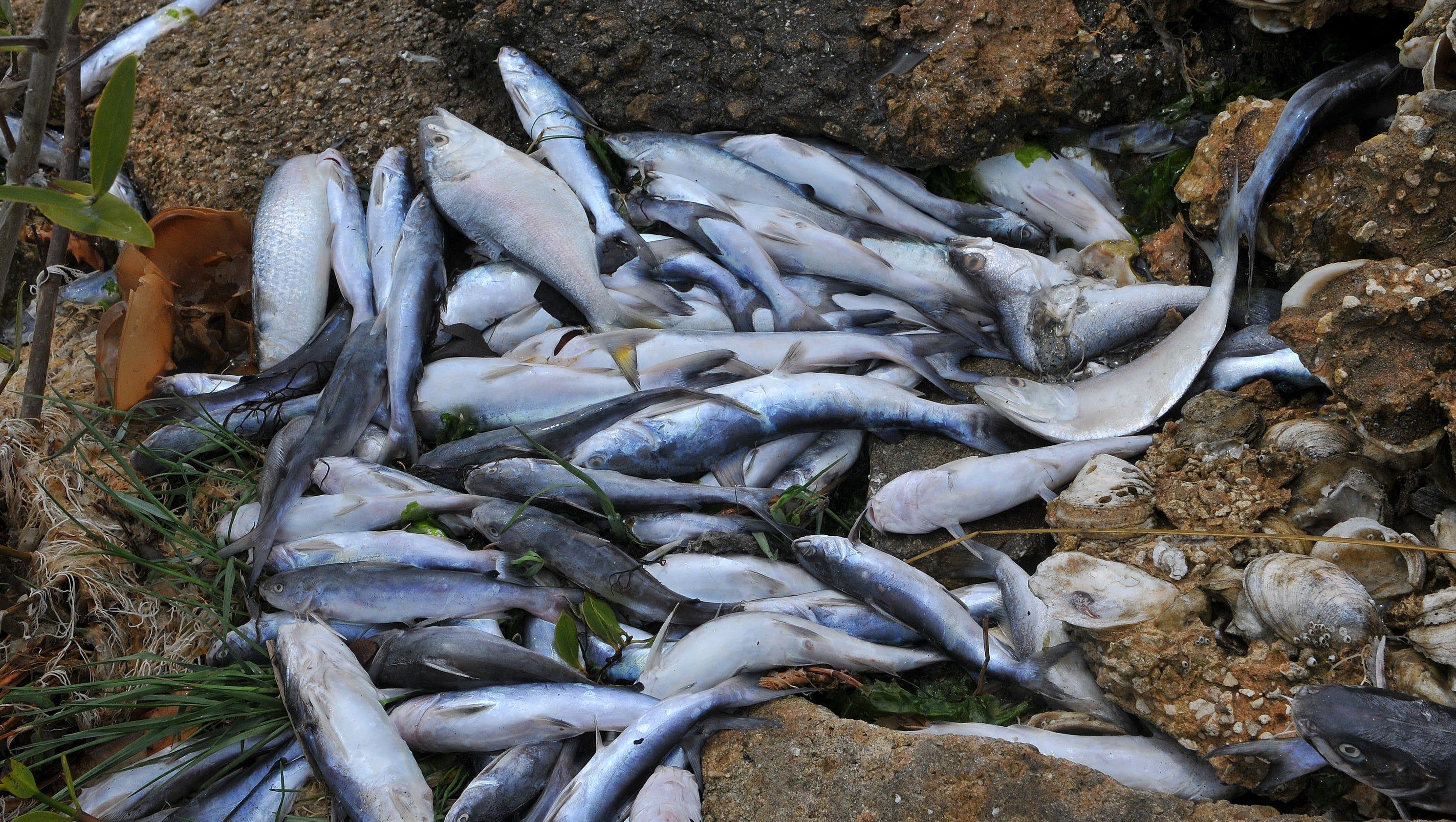 Fish kill banana river cocoa beach for Banana river fishing