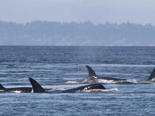 Orcas Pregnancy Problems