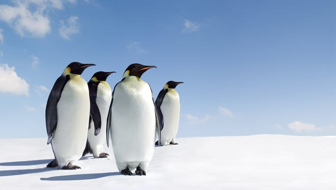 A group of emperor penguins.