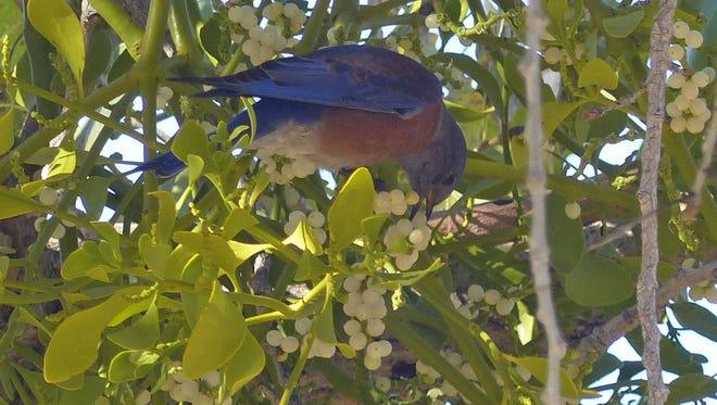 A western bluebird snacks on mistletoe berries.