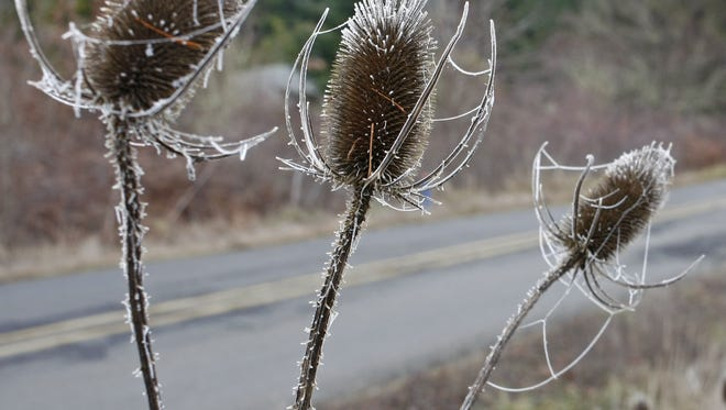Ice covered teasels along Riverdale Road S on Thursday, Dec. 22, 2011.