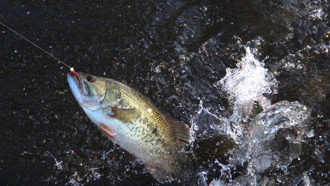 A largemouth bass leaps and attempts to throw an angler's hook.