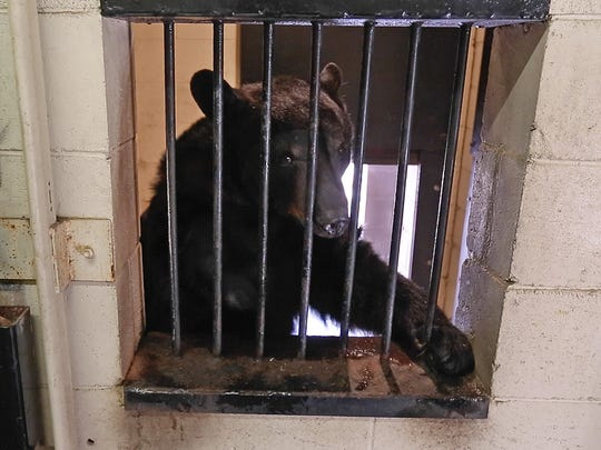 A curious bear tries to reach out of its enclosure at Popcorn Park Zoo in Lacey Township.