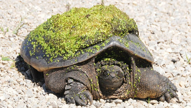 A snapping turtle crawls along a highway shoulder looking for a place to lay its eggs.