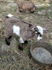 Dunkin the pig and Gunner the pygmy goat, as seen on