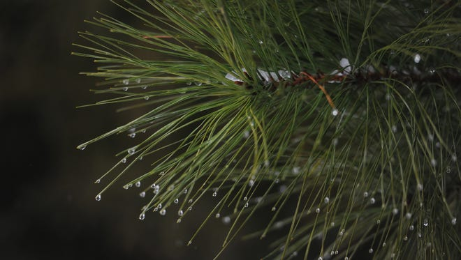 Rain drops cling to the needles of a pine tree as snow changes to rain at the foremer Onancock High School property in Onancock, Va. on Monday morning, Feb. 15, 2016.