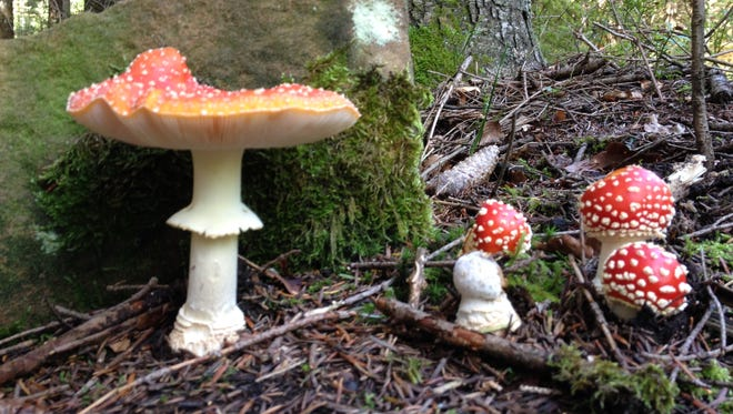 "Amanita muscaria, also known as ""fly agaric"" mushrooms, grow on the dark forest's floor amid shadows and dappled sunshine. The forest, near Enzklösterle, Germany, was the inspiration for the Grimm brothers' fairy tales."