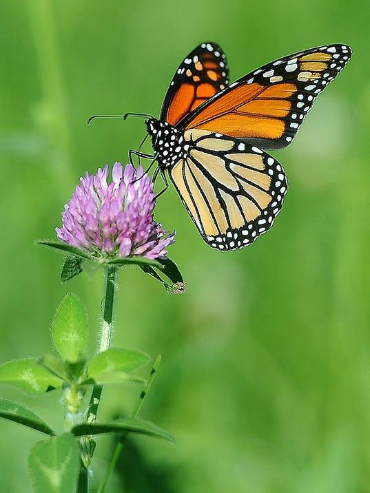 -SFABrd_08-26-2014_ArgusLeader_1_A004~~2014~08~25~IMG_Butterfly.jpg_1_1_U48B.jpg