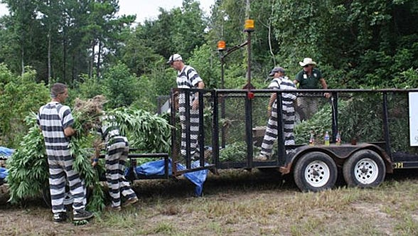 Polk County deputies recovered 44,000 marijuana plants from a wooded area in Goodrich, Texas on Monday, July 28, 2014.