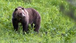 Grizzly bear roaming near Beaver Lake in Yellowstone