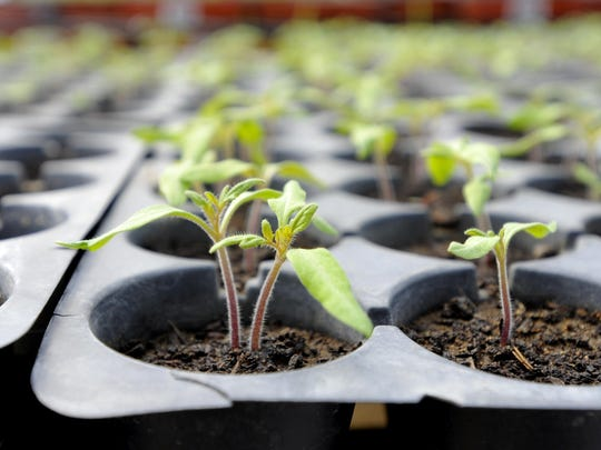 Tomato seedlings in late winter.