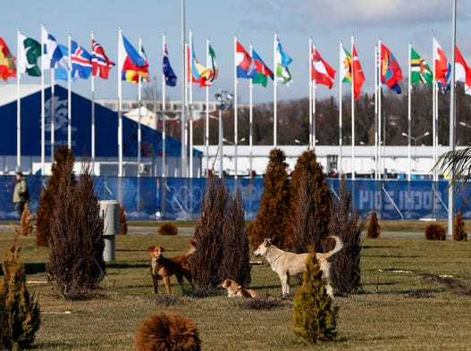 Stray dogs hang out in Sochi's Olympic Park on Feb. 6.
