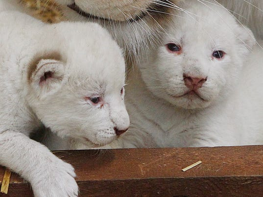AP Poland White Lions