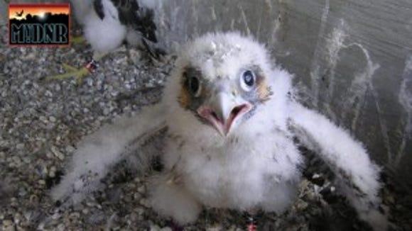 Baby falcon.