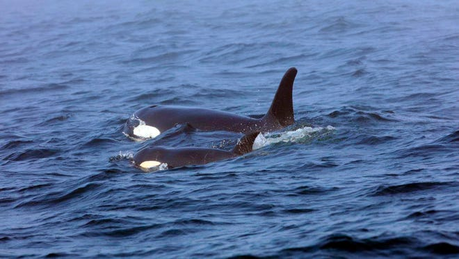 A pair of  Southern Resident killer whales swim off the west coast of Vancouver Island in August 2017.