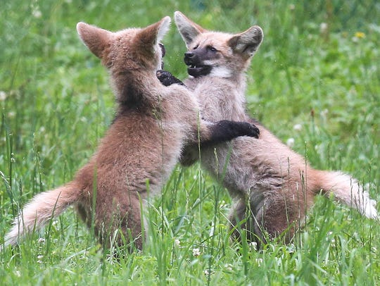 Two female maned wolf pups play as they explore their