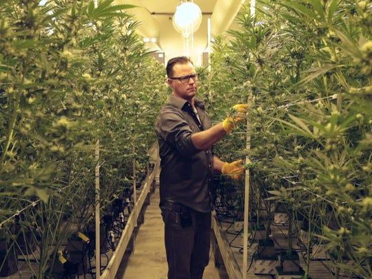 Jeff Homolya examines marijuana plants at Canndescent