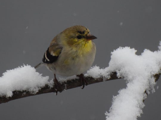 The American goldfinch, New Jersey's state bird, loses a little of his pizzazz in non-breeding months.