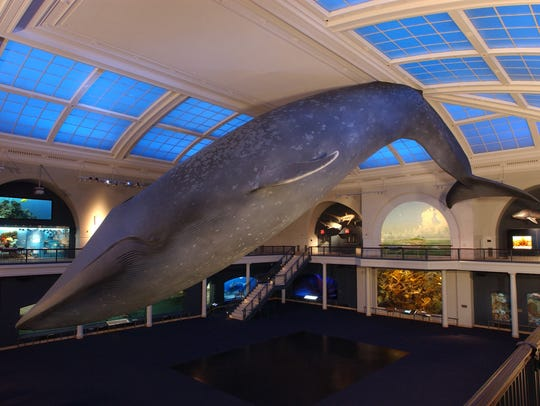 The whale at the American Museum of Natural History