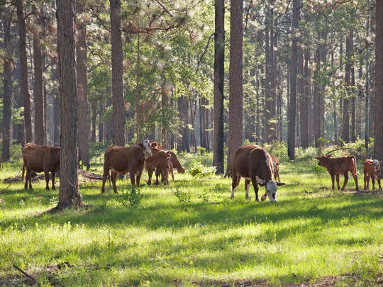 David Daigle manages seven properties of longleaf pine using the methods of prescribed burning and cattle grazing.